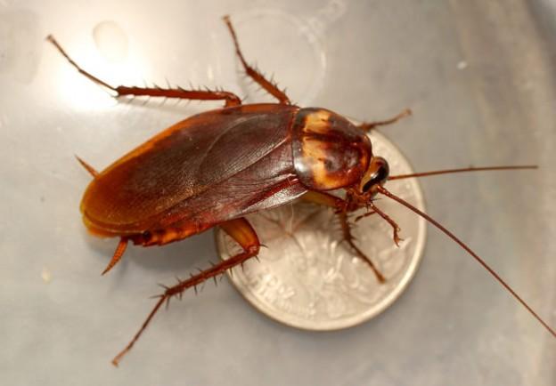 домашните хлебарки